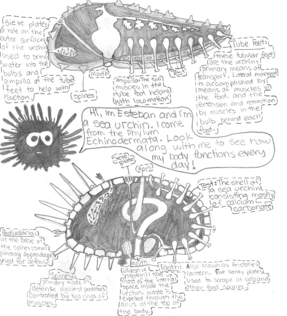 medium resolution of diagram of a sea urchin s anatomy