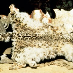 Snow Leopard Anatomy Diagram 1993 Chevy Truck Fuel Pump Wiring Conservation Pelt In Nepal C 2008 Photo By Rod Jackson Courtesy Of Trust