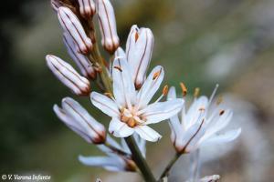 Flor del gamón