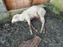 ovelhas 577_3215959262274519040_n