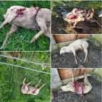 ovelhas mortas caes