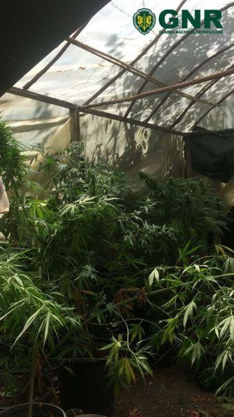 cannabis 532933217 5046144844349033901 o