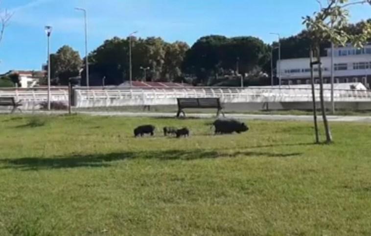 porcos vietnamitas 2