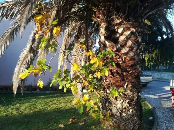 palmeira figueira IMG 20201030 075426