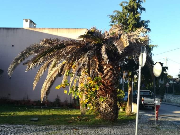palmeira figueira IMG 20201030 075440