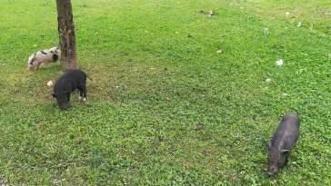 porcos vietnamitas flecheiro IMG 20201115 100140