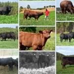 bois bovinos agriangus