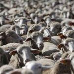 ovelhas 2