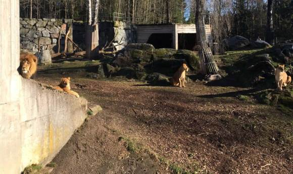 Snabb viktnedgång löpning - Lejon i Borås djurpark