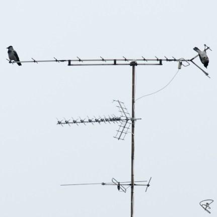 kråkor på antenn