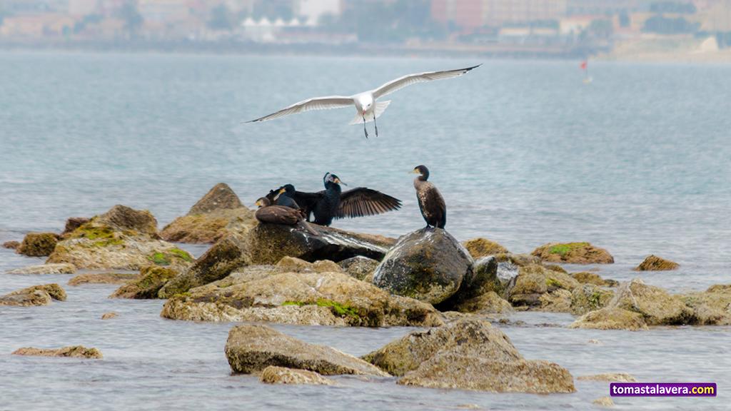 gaviota-cormoranes-alas