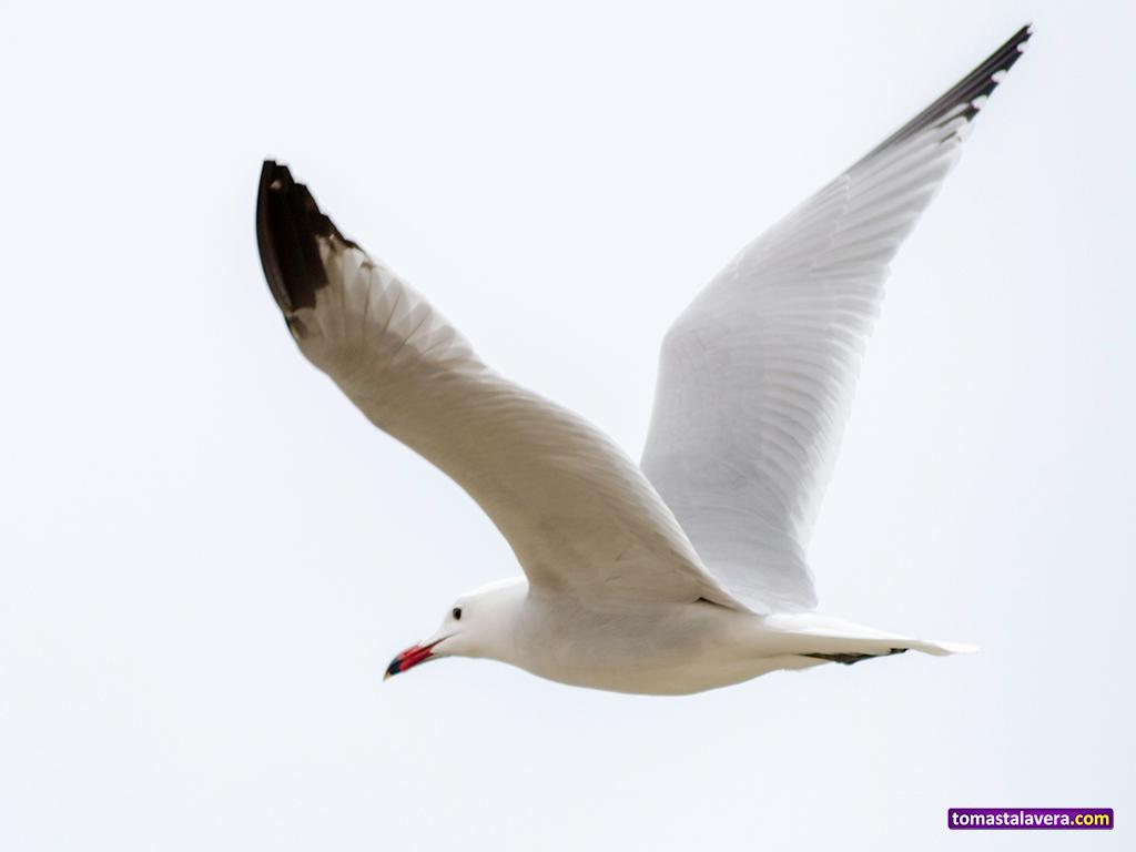 laridae-gaviota-volando-alas