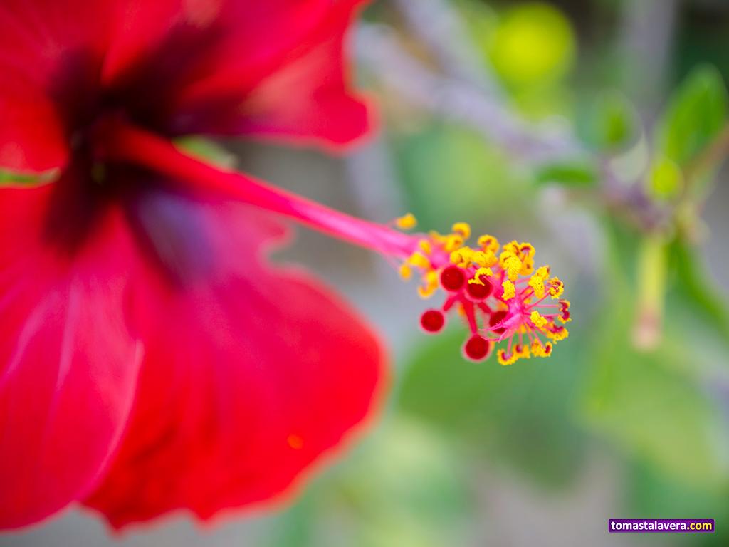 hibiscus-rojo