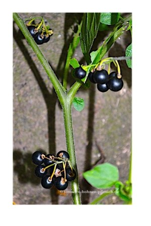 50 Wonderberry Samen * Amerikanische HEIDELBEERE *