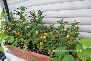 Balkon Star Tomate Curley Kaley –  Grünkohltomate Cherrytomate