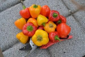 kleiner Snack rot-gelber mini Paprika, Calabrese, dicker milder Kirsch Chili