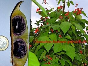 Feuerbohnen – Käferbohnen Stangenbohnen