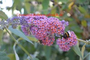 🐝Sommerflieder Strauch🦋Buddleja  Flower Power lila-orange Bienenpflanze