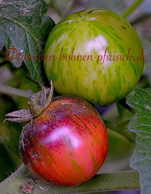 Painted pink blue Cherry Tomate