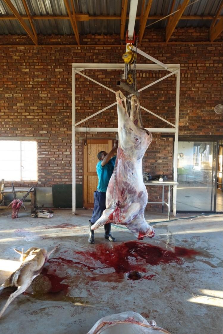 Butchering an eland