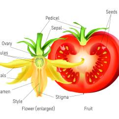 Diagram The Parts Of Cherry Blossom Tree Lewis Dot Steps Tomatosphere Life Cycle A Tomato Plant Figure 2 Flower And Its Fruit Ovary Within Develops Into That We Eat Petals Stamens Stigma