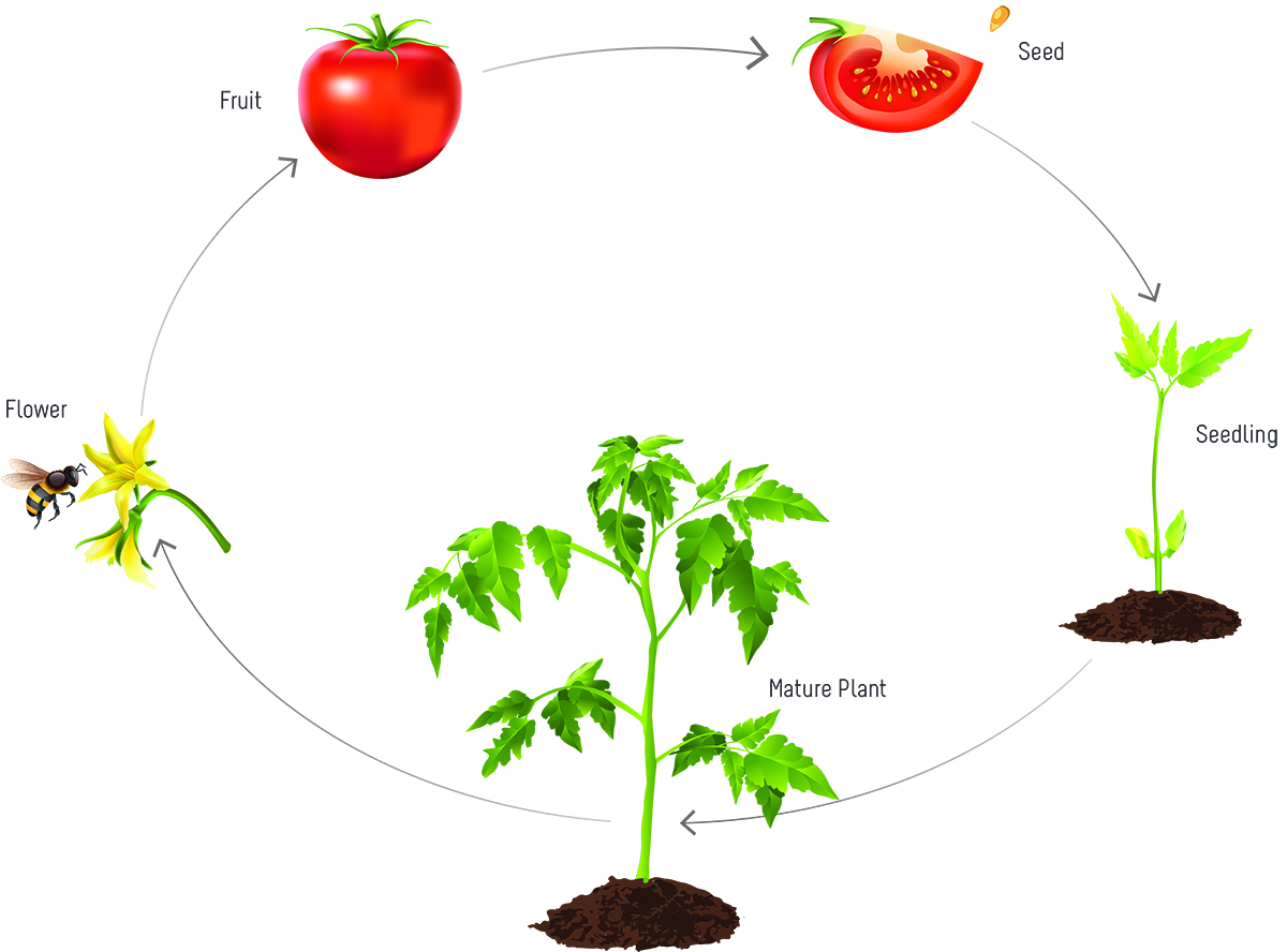sunflower plant life cycle diagram vaillant ecotec plus 824 wiring tomatosphere the of a tomato figure 1 starts from seeds and as grows matures flowers develop
