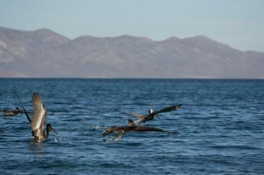 20180310-pelicans-4