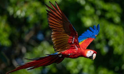 Scarlet Macaws are attracted to the almond trees at Crocodile Bay