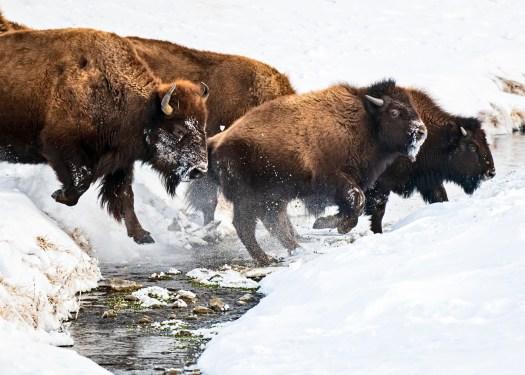 Yellowstone Winter Scout
