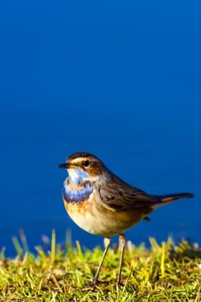 Bird: Bluethroat. Luscinia svecica.