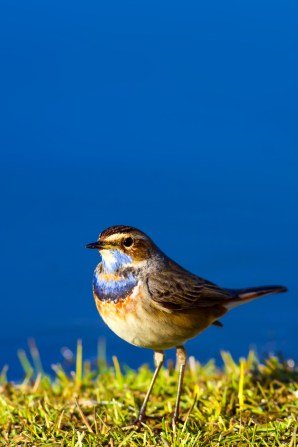 Bird: Bluethroat. Luscinia svecica.