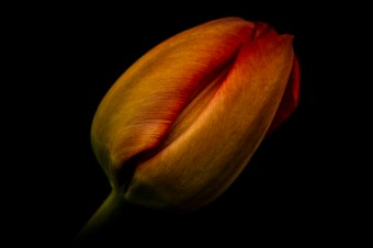 Tulipcleft