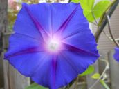 morning-glory-light