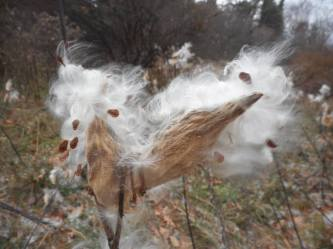 milkweed-pods-with-seeds-stretching-out