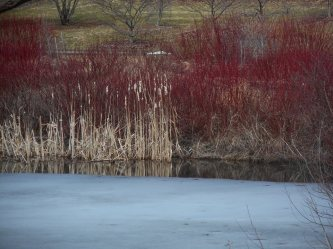 Another pond at Cornell Plantations with ice slowly receding... 4-4-15