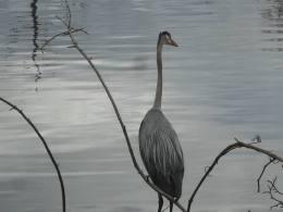 Great Blue Heron 4-12-16 at Sapsucker Woods