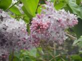 lilacs in side yard...