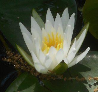 lotus pond Oklahoma City 5-26-16 a