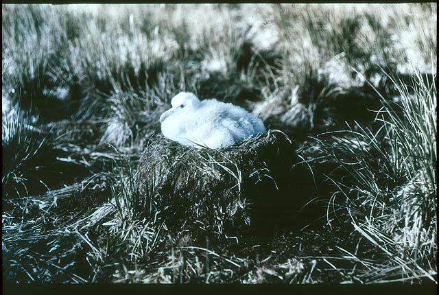 The chick of the Wanderer Albatross, 1915 / photographed by Frank Hurley