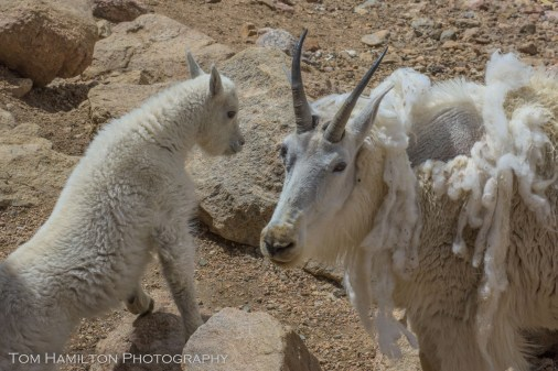 A mother mountain goat and her kid atop Mount Evans