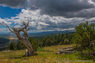 A storm brews over the skeleton of a bristcone pine in Pike National Forest.