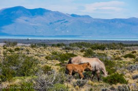 Wild horses in the vast steppes of Argentine patagonia