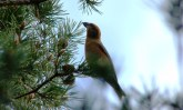A crossbill in the Cairngorms National Park, in the Highlands of Scotland.