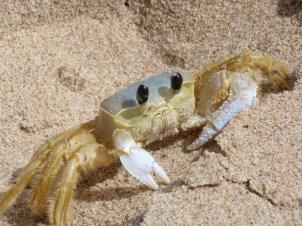 A hairy crab on the beach at Bathsheba, Barbados.