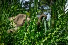 Pygmy elephant eats by the Kinabatangan river.