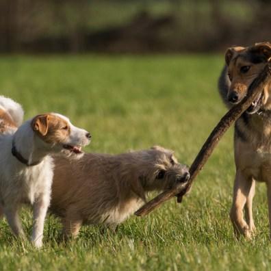 Tommy Hondenuitlaatservice voor Amsterdam, Zuidoost, Diemen, IJburg. Wij maken hondenfoto's tijdens de wandelingen.