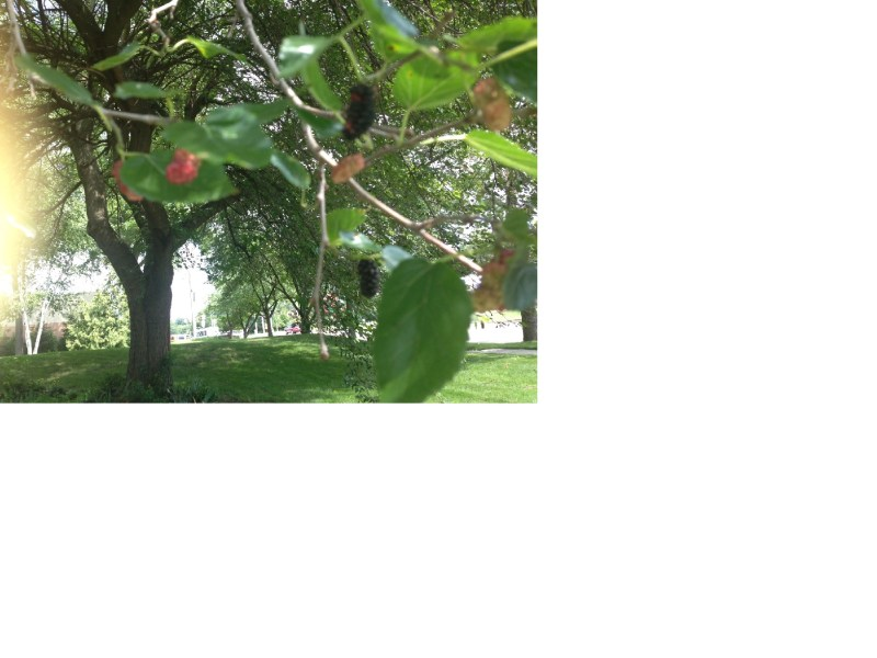 Mulberry Tree in Michigan