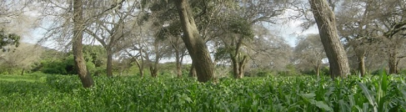 Faidherbia trees during crop season