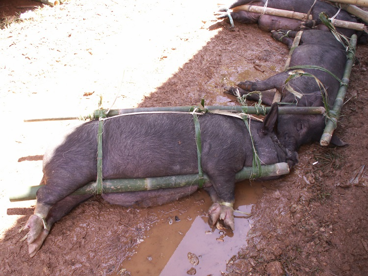 Pigs Carried to Feast in Bamboo Frame-Indonesia, Toraja