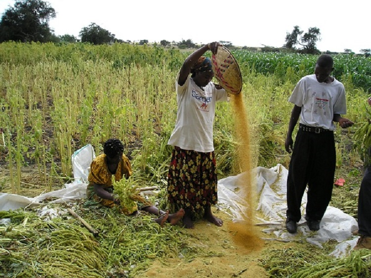 Women Farmers Winnowing Amaranth